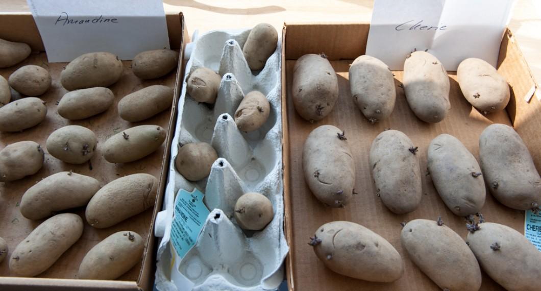 Tre olika sorters potatis lagda för att grodda. Köp helst sättpotatisar om du ej har koll på potatisodling.