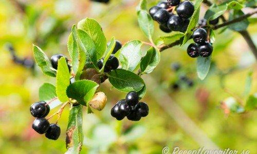 Aroniabär har många i sina trädgårdshäckar utan att veta att de blir god saft.