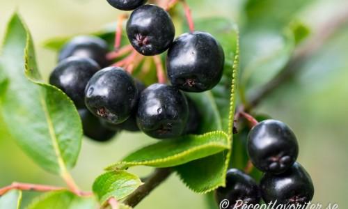 Aroniabär på buske