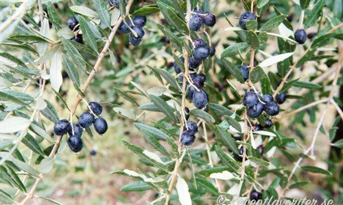 Recept med oliver