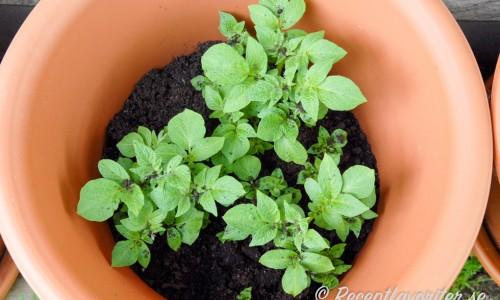 Efterhand som potatisen växer upp så täcker du med lite jord i taget. Upp till kanten av krukan. Nu bildas knölarna - eller potatisen - av rötterna under jorden.