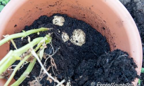 När potatisen växt ett tag så kan du skörda efterhand som du är sugen på potatis. Potatisen håller sig under tiden i jorden flera veckor även om bladen vissnar.