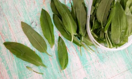 Ramslöksblad - förväxla ej med Liljekonvalj som är giftigt.