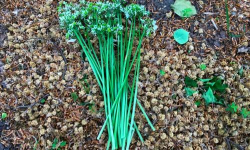 Även blommor och stjälkar kan ätas. Här har den blommat ut men stjälkarna liknar gräslök och kan hackas och användas till garnering. Den spädare halvan mot blomman är godast.