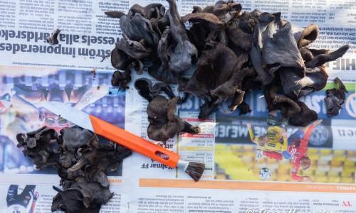 Svarta trumpetsvampar som rensas på tidning.